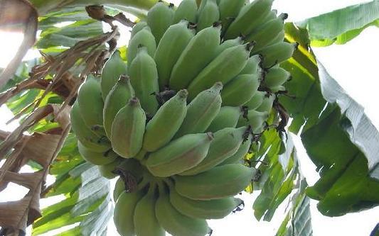 Дикие бананы размножаются семенами
