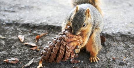 Польза и вред кедрового ореха